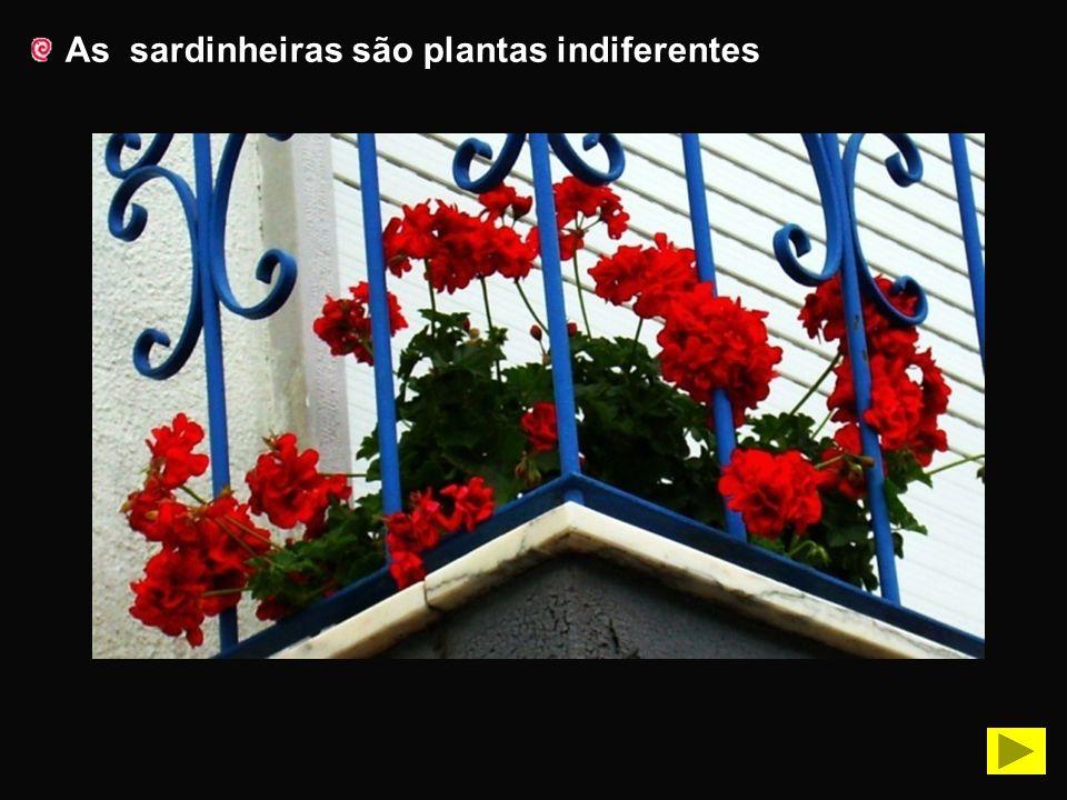 As hortênsias são plantas de dia curto