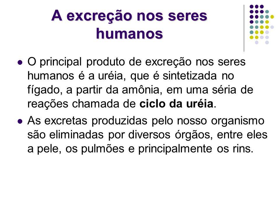 A excreção nos seres humanos O principal produto de excreção nos seres humanos é a uréia, que é sintetizada no fígado, a partir da amônia, em uma séri