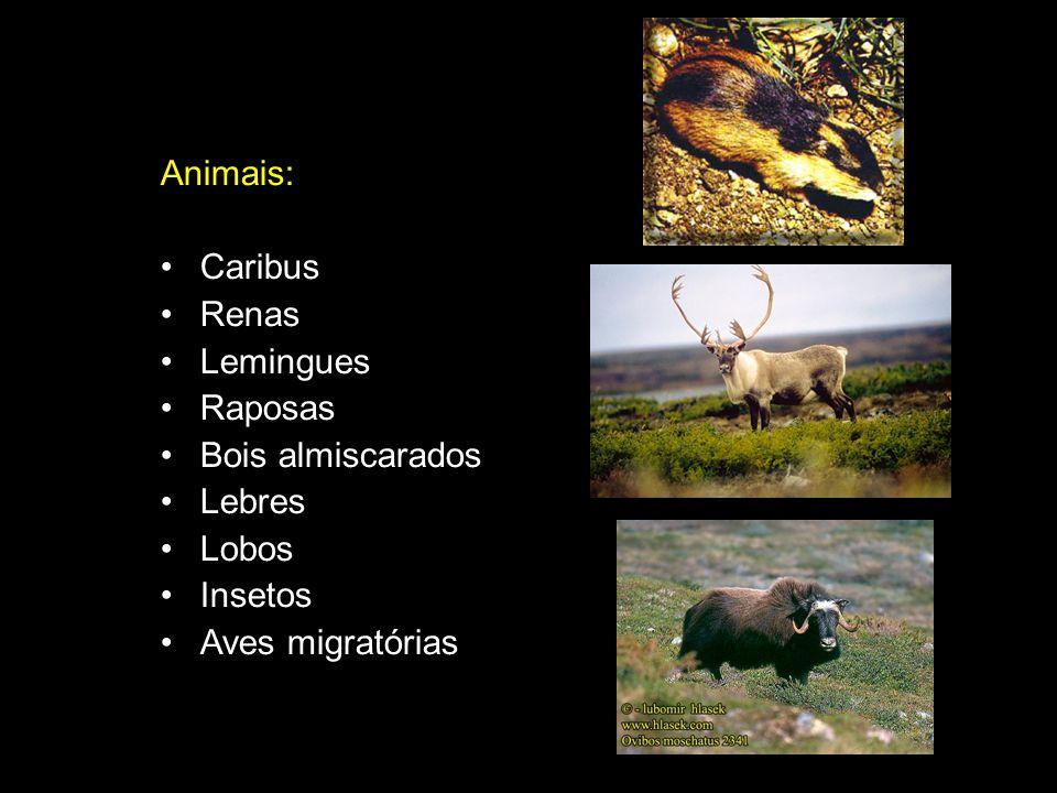 Animais: Caribus Renas Lemingues Raposas Bois almiscarados Lebres Lobos Insetos Aves migratórias