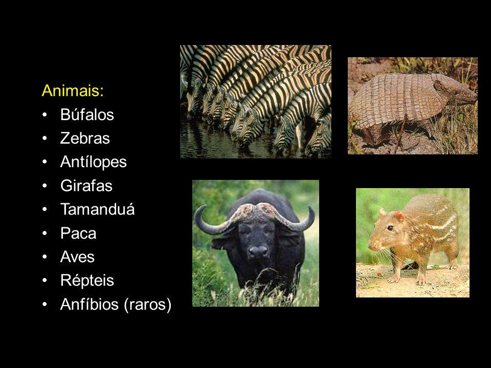 Animais: Búfalos Zebras Antílopes Girafas Tamanduá Paca Aves Répteis Anfíbios (raros)