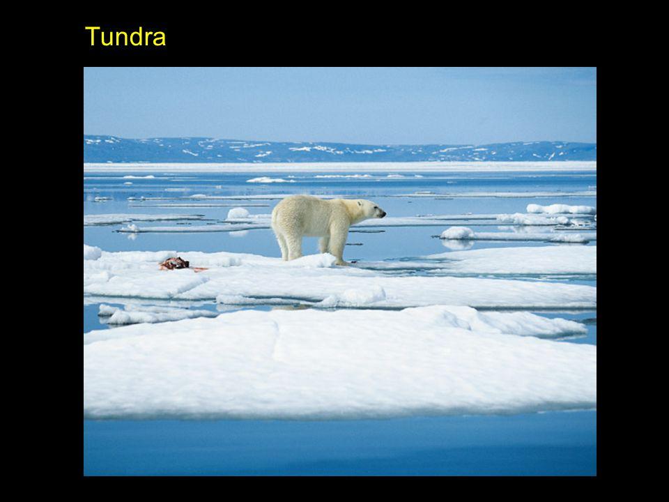 b Localizada no Círculo Polar Ártico (Norte): Alasca, Canadá, Groenlândia, Noruega, Suécia, Finlândia e Sibéria Temperatura baixa o ano todo (inverno rigoroso / verão frio) Baixa pluviosidade Baixa luminosidade Vegetação apenas no verão (liquens, musgos e gramíneas)