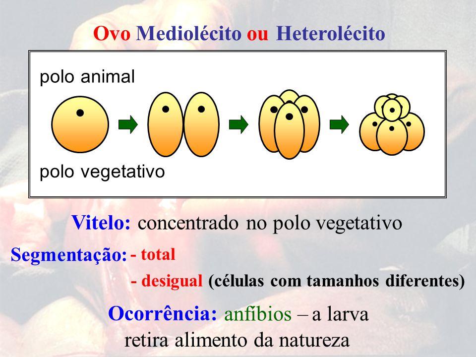 Ovo Mediolécito ou Heterolécito concentrado no polo vegetativoVitelo: retira alimentoda natureza polo polo Segmentação: anfíbios –a larva Ocorrência: