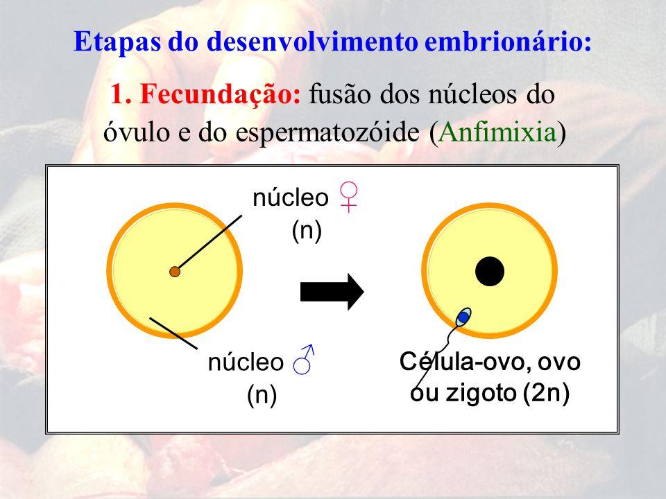 Etapas do desenvolvimento embrionário: 1. Fecundação:fusão dos núcleos do espermatozóide (Anfimixia)óvulo e do Célula-ovo, núcleo ♀ (n) núcleo ♂ (n) o