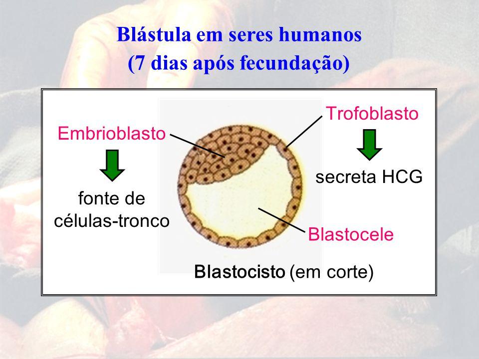 Blástula em seres humanos (7 dias após fecundação) Blastocisto (em corte) Trofoblasto Blastocele Embrioblasto secreta HCG fonte de células-tronco