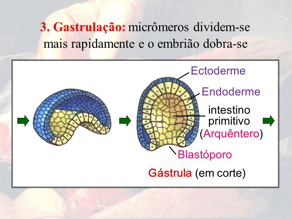 Gástrula (em corte) Blastóporo Ectoderme Endoderme 3. Gastrulação: micrômeros dividem-se mais rapidamentee o embrião dobra-se intestino primitivo (Arq
