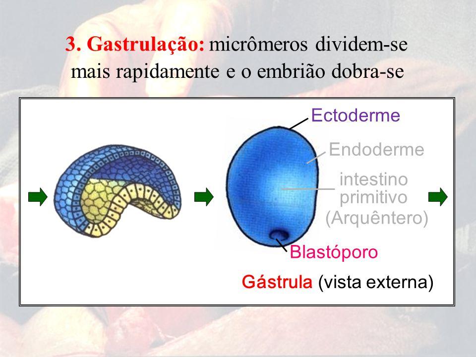 Gástrula (vista externa) Blastóporo Ectoderme Endoderme intestino primitivo (Arquêntero) 3. Gastrulação:micrômeros dividem-se mais rapidamente eo embr