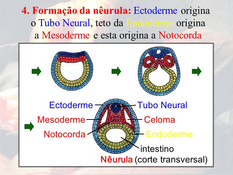 4. Formação da nêurula: Ectoderme origina o Tubo Neural,teto da Endoderme origina EctodermeTubo Neural MesodermeCeloma intestino EndodermeNotocorda Nê