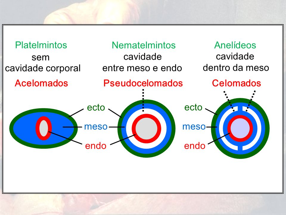 Acelomados Platelmintos cavidade corporal sem meso endo Pseudocelomados Nematelmintos cavidade entre meso e endo ecto Celomados Anelídeos cavidade den