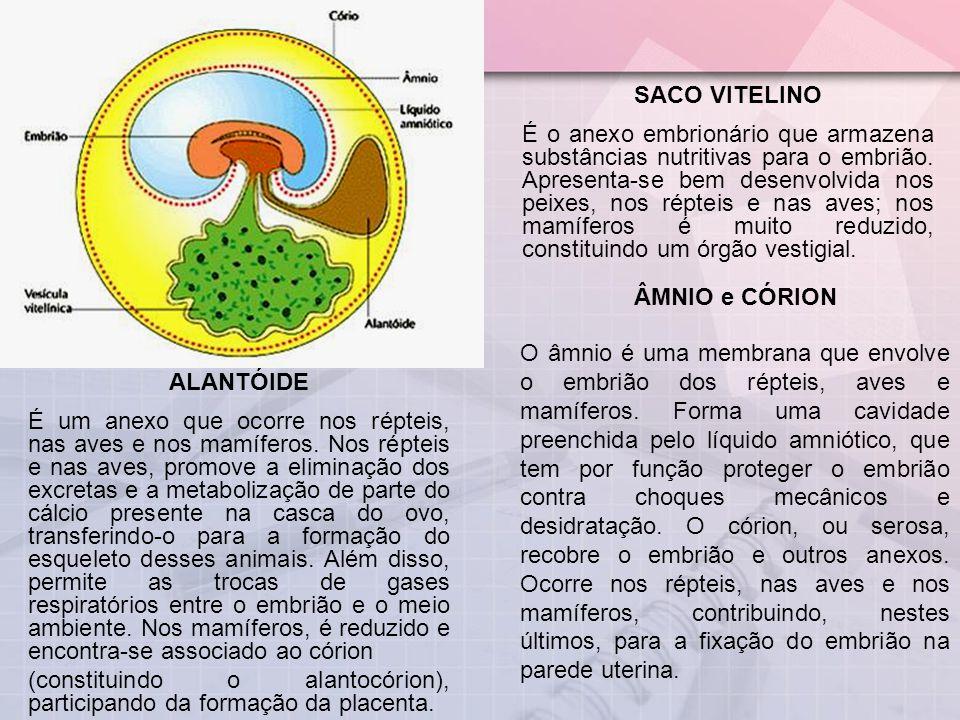 SACO VITELINO É o anexo embrionário que armazena substâncias nutritivas para o embrião. Apresenta-se bem desenvolvida nos peixes, nos répteis e nas av