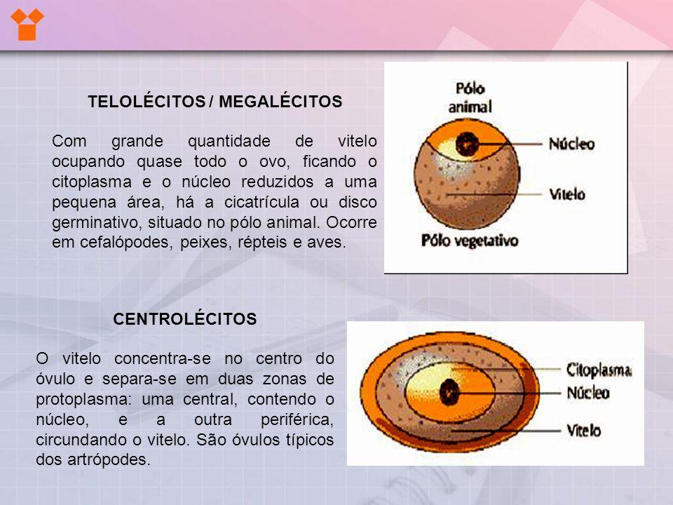 TELOLÉCITOS / MEGALÉCITOS Com grande quantidade de vitelo ocupando quase todo o ovo, ficando o citoplasma e o núcleo reduzidos a uma pequena área, há