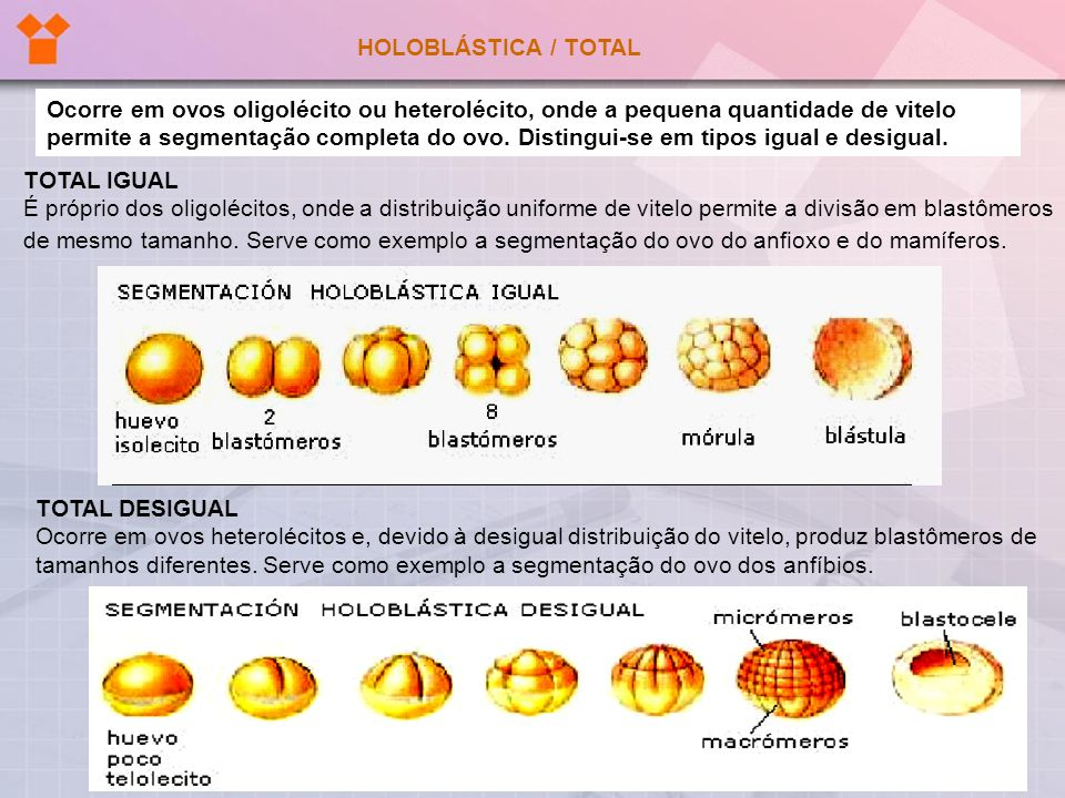 HOLOBLÁSTICA / TOTAL TOTAL DESIGUAL Ocorre em ovos heterolécitos e, devido à desigual distribuição do vitelo, produz blastômeros de tamanhos diferente