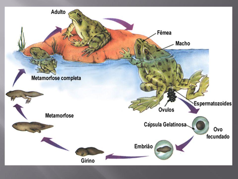  A palavra anfíbio, de origem grega, significa vida dupla , porque esses animais são capazes de viver no ambiente terrestre na fase adulta, mas dependem da água para a reprodução.