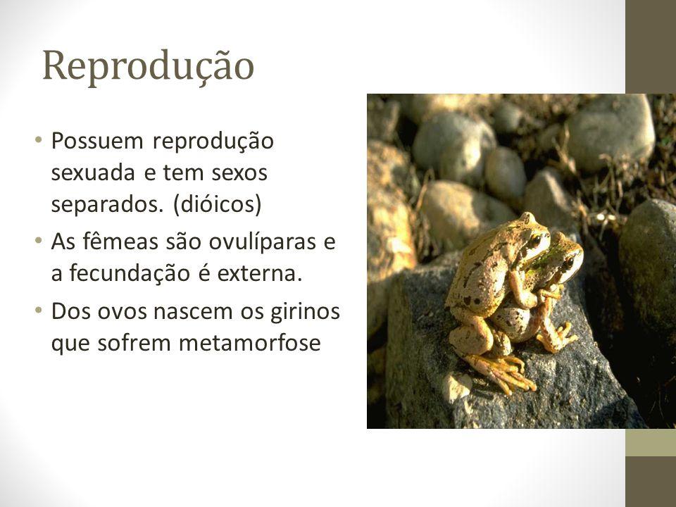 Reprodução Possuem reprodução sexuada e tem sexos separados. (dióicos) As fêmeas são ovulíparas e a fecundação é externa. Dos ovos nascem os girinos q