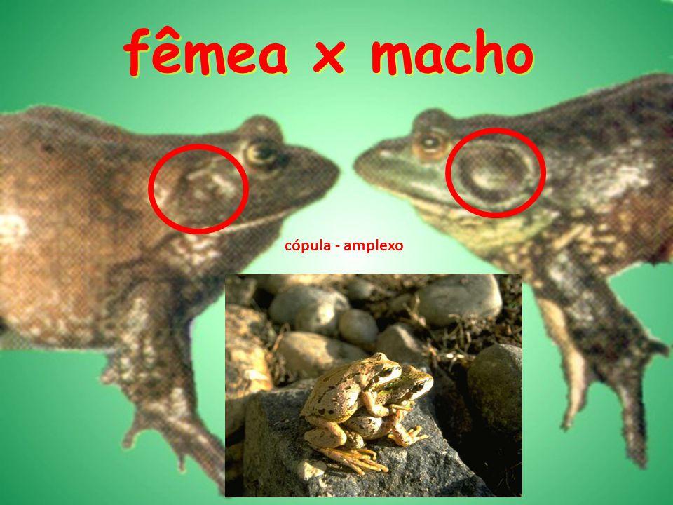 fêmea x macho cópula - amplexo