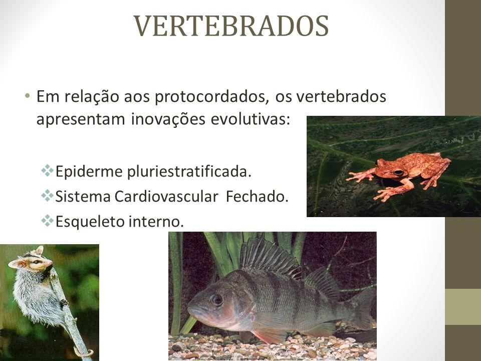 VERTEBRADOS Em relação aos protocordados, os vertebrados apresentam inovações evolutivas:  Epiderme pluriestratificada.  Sistema Cardiovascular Fech