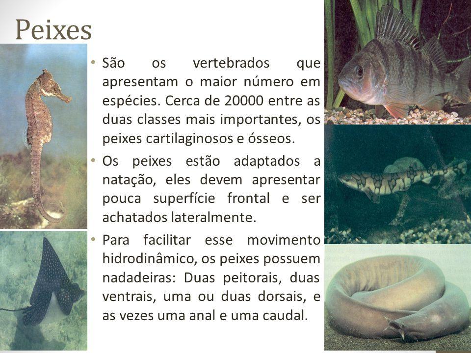 Peixes São os vertebrados que apresentam o maior número em espécies. Cerca de 20000 entre as duas classes mais importantes, os peixes cartilaginosos e