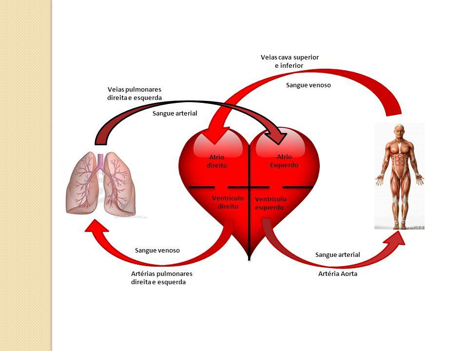 Atrio direito Atrio Esquerdo Ventrículo direito Ventrículo esquerdo Artérias pulmonares direita e esquerda Artéria Aorta Veias cava superior e inferio