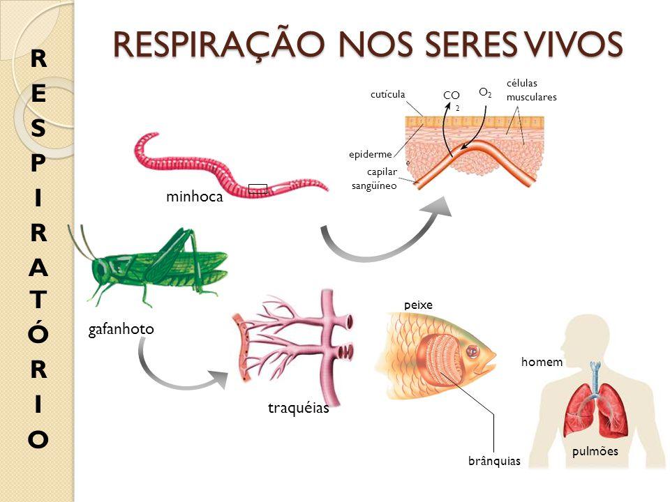 minhoca cutícula epiderme capilar sangüíneo células musculares CO 2 O2O2 gafanhoto traquéias peixe brânquias homem pulmões RESPIRAÇÃO NOS SERES VIVOS