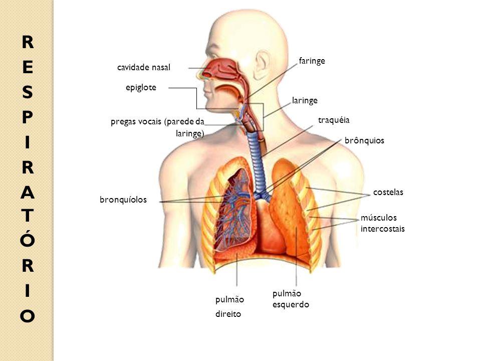 cavidade nasal epiglote pregas vocais (parede da laringe) faringe laringe traquéia bronquíolos pulmão direito pulmão esquerdo brônquios músculos inter