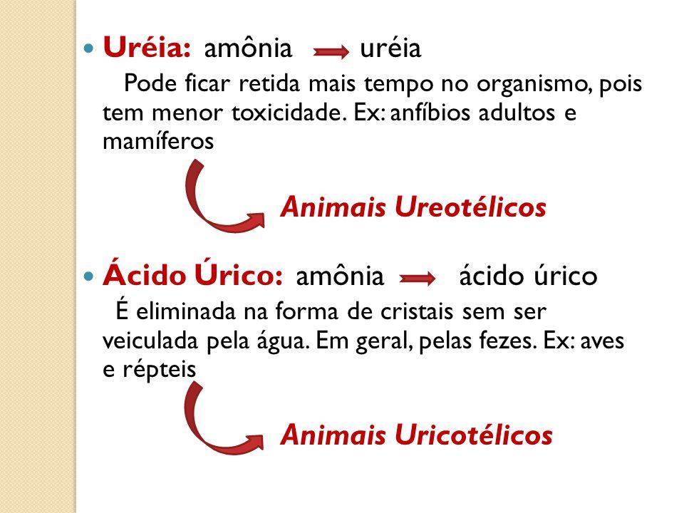 Uréia: amônia uréia Pode ficar retida mais tempo no organismo, pois tem menor toxicidade. Ex: anfíbios adultos e mamíferos Animais Ureotélicos Ácido Ú