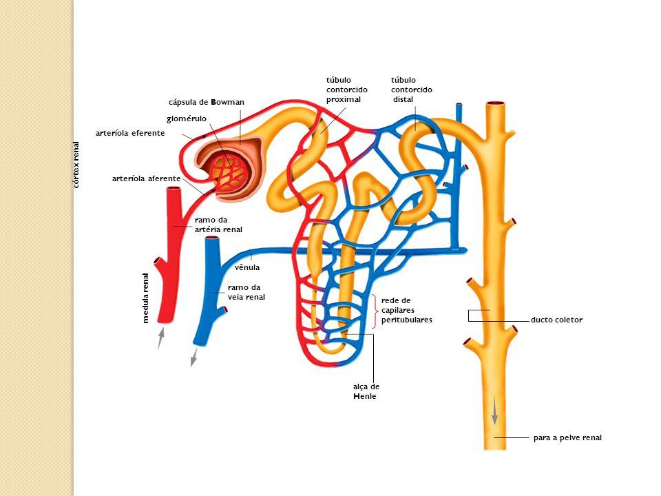 para a pelve renal túbulo contorcido distal túbulo contorcido proximal cápsula de Bowman glomérulo arteríola eferente córtex renal arteríola aferente