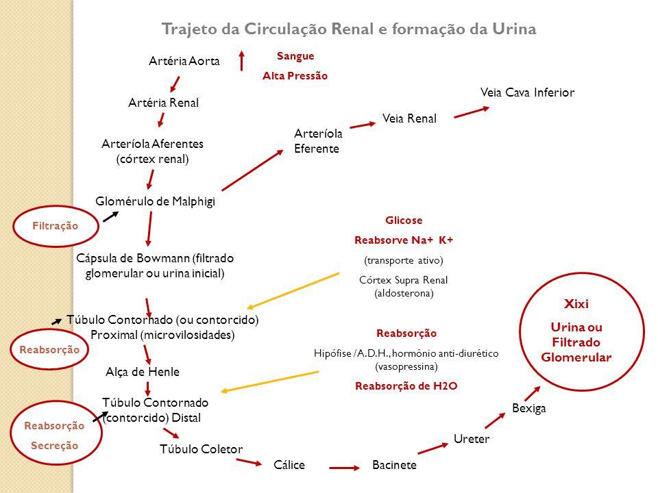 Trajeto da Circulação Renal e formação da Urina Artéria Aorta Artéria Renal Arteríola Aferentes (córtex renal) Glomérulo de Malphigi Cápsula de Bowman