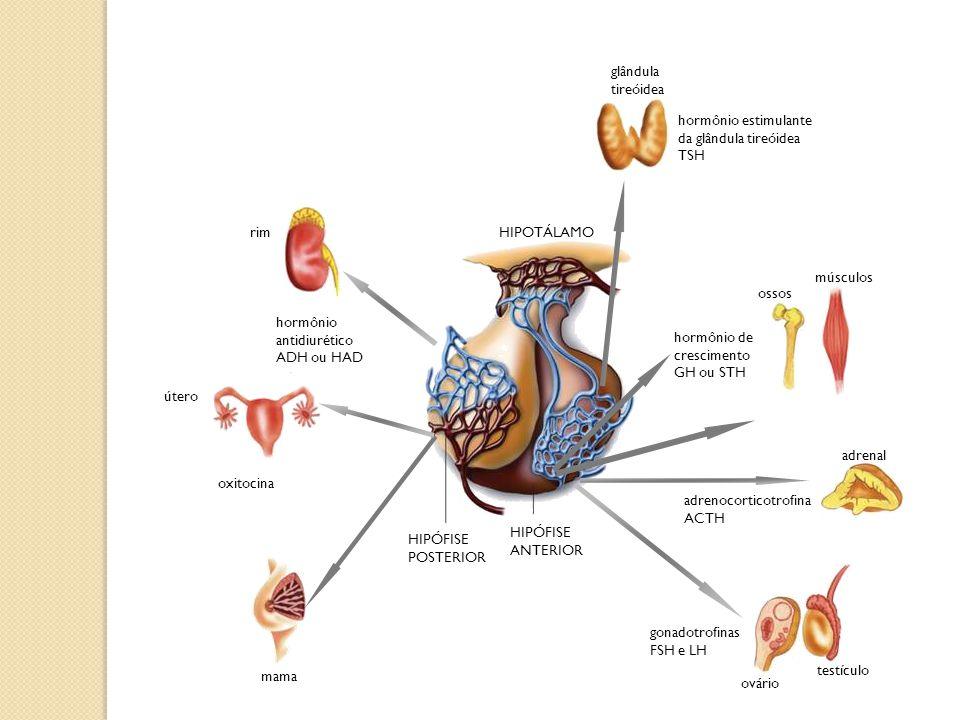 adrenal adrenocorticotrofina ACTH testículo ovário gonadotrofinas FSH e LH útero oxitocina HIPÓFISE POSTERIOR HIPÓFISE ANTERIOR HIPOTÁLAMO mama hormôn
