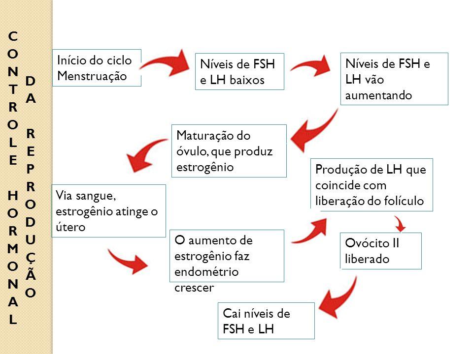 Início do ciclo Menstruação Níveis de FSH e LH baixos Níveis de FSH e LH vão aumentando Maturação do óvulo, que produz estrogênio Via sangue, estrogên