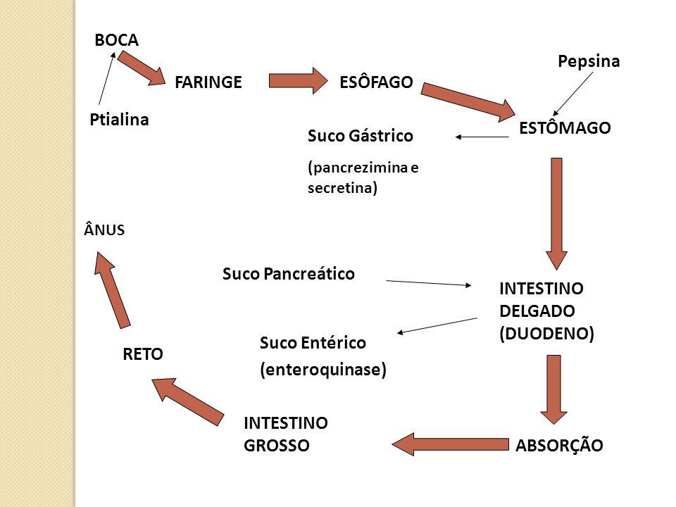 BOCA Ptialina FARINGEESÔFAGO ESTÔMAGO Suco Gástrico (pancrezimina e secretina) Pepsina INTESTINO DELGADO (DUODENO) Suco Pancreático Suco Entérico (ent