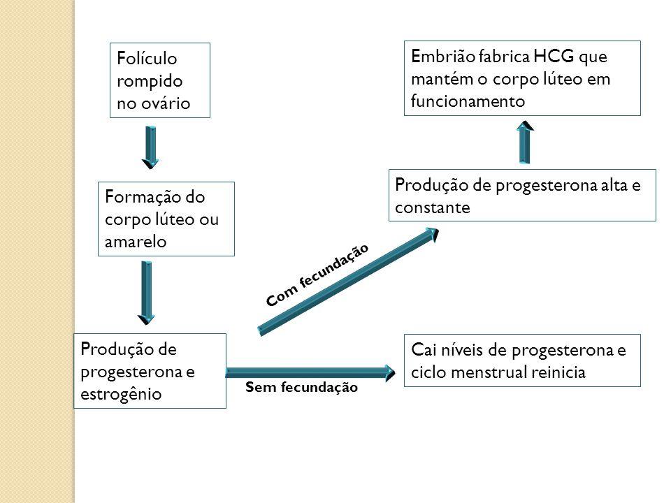Folículo rompido no ovário Formação do corpo lúteo ou amarelo Produção de progesterona e estrogênio Cai níveis de progesterona e ciclo menstrual reini