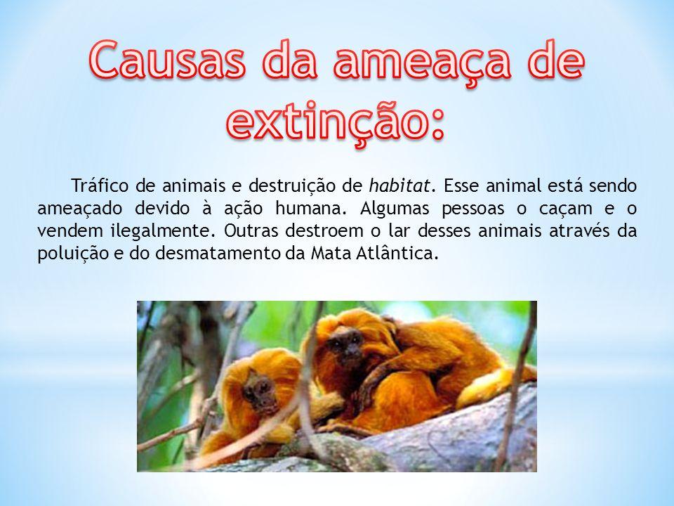 Tráfico de animais e destruição de habitat. Esse animal está sendo ameaçado devido à ação humana. Algumas pessoas o caçam e o vendem ilegalmente. Outr