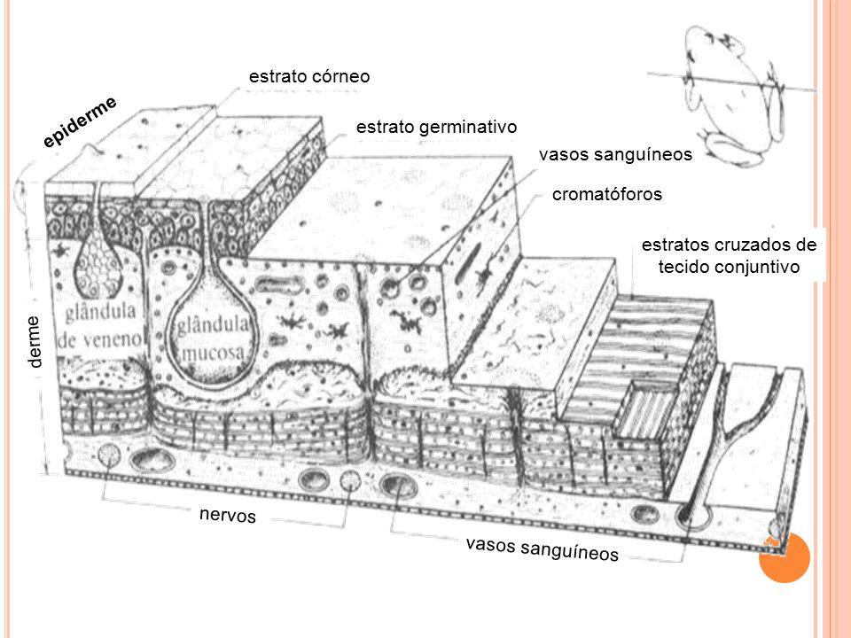 epiderme derme nervos vasos sanguíneos estrato córneo estrato germinativo cromatóforos estratos cruzados de tecido conjuntivo vasos sanguíneos
