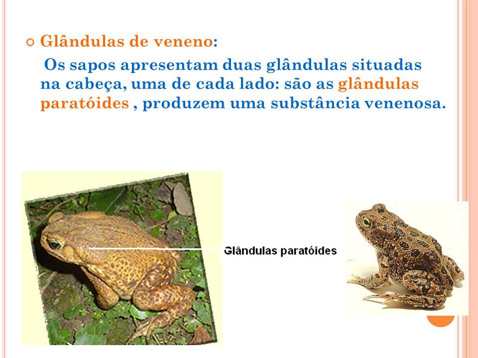 Glândulas de veneno: Os sapos apresentam duas glândulas situadas na cabeça, uma de cada lado: são as glândulas paratóides, produzem uma substância ven