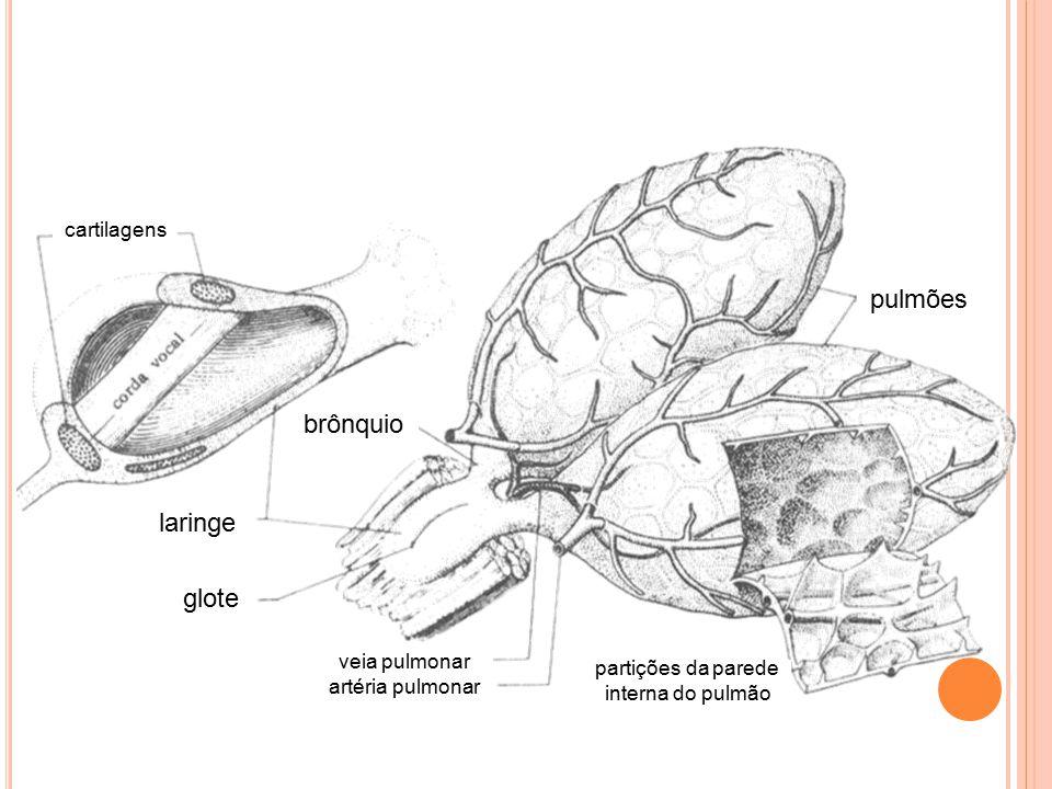 brônquio laringe glote pulmões cartilagens veia pulmonar artéria pulmonar partições da parede interna do pulmão