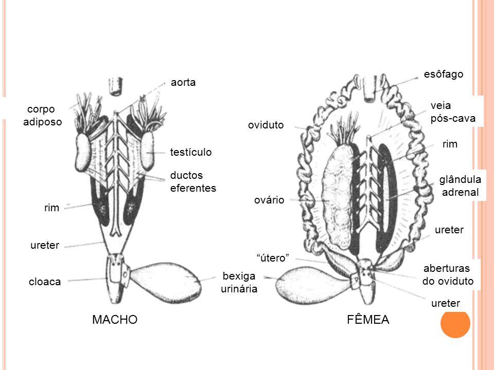 """aorta testículo ductos eferentes rim ureter cloaca corpo adiposo bexiga urinária MACHOFÊMEA oviduto ovário """"útero"""" ureter rim esôfago veia pós-cava gl"""