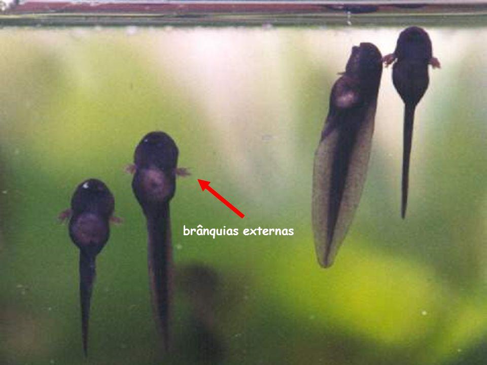 brânquias externas