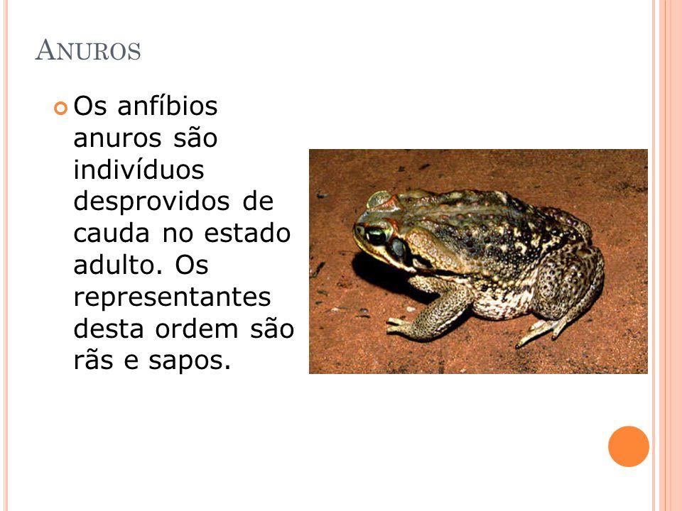 A NUROS Os anfíbios anuros são indivíduos desprovidos de cauda no estado adulto. Os representantes desta ordem são rãs e sapos.