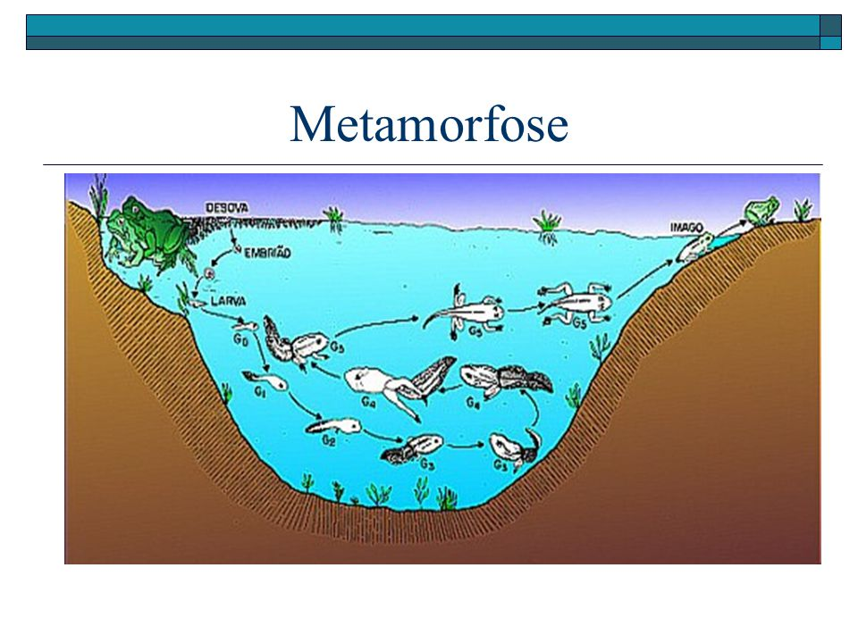 Metamorfose