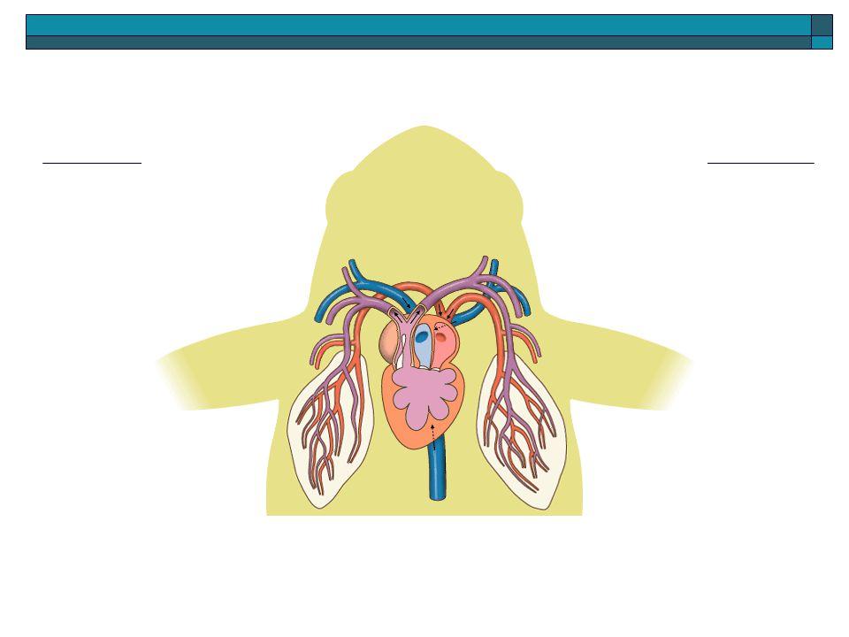  O coração tem três câmaras: dois átrios e um ventrículo.