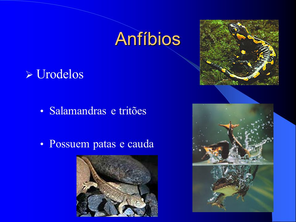 Anfíbios  Urodelos Salamandras e tritões Possuem patas e cauda