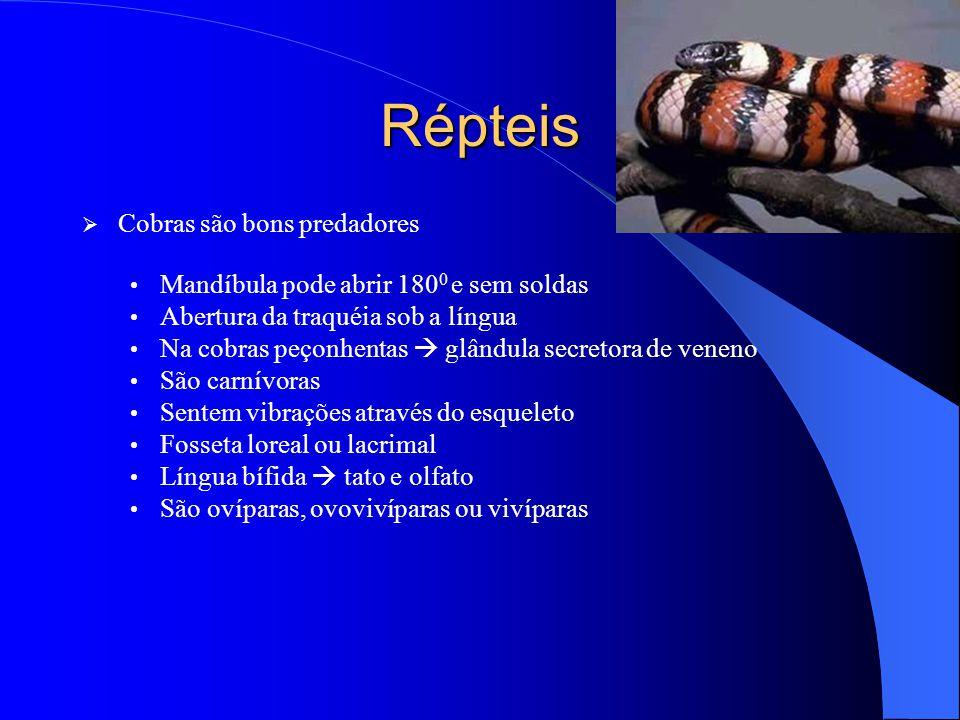 Répteis  Cobras são bons predadores Mandíbula pode abrir 180 0 e sem soldas Abertura da traquéia sob a língua Na cobras peçonhentas  glândula secret