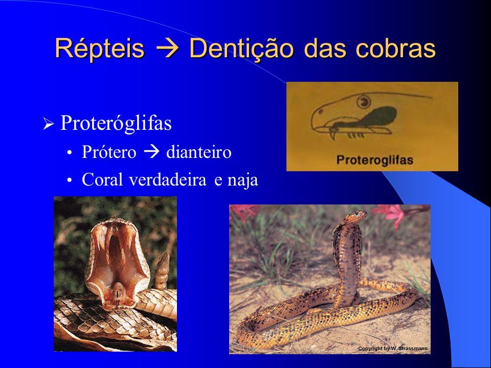 Répteis  Dentição das cobras  Proteróglifas Prótero  dianteiro Coral verdadeira e naja