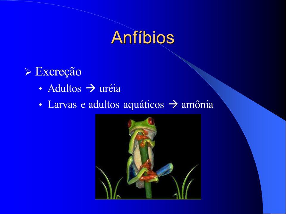 Anfíbios  Excreção Adultos  uréia Larvas e adultos aquáticos  amônia