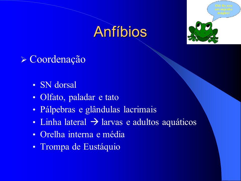 Anfíbios  Coordenação SN dorsal Olfato, paladar e tato Pálpebras e glândulas lacrimais Linha lateral  larvas e adultos aquáticos Orelha interna e mé