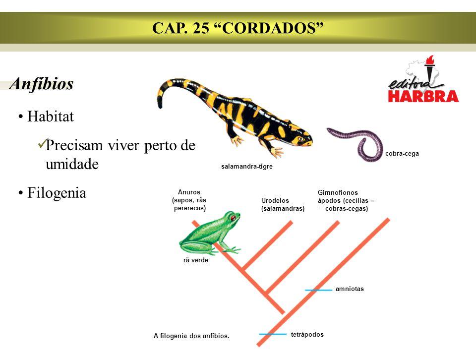 """Anfíbios CAP. 25 """"CORDADOS"""" Habitat Precisam viver perto de umidade Filogenia A filogenia dos anfíbios. tetrápodos amniotas rã verde Anuros (sapos, rã"""