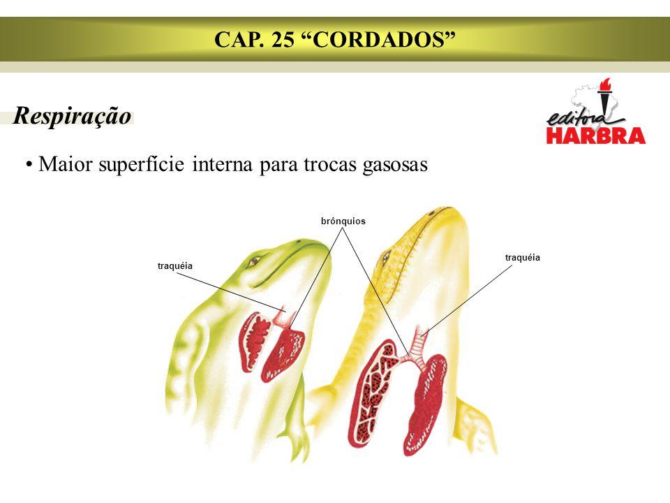 """Respiração CAP. 25 """"CORDADOS"""" Maior superfície interna para trocas gasosas traquéia brônquios traquéia"""