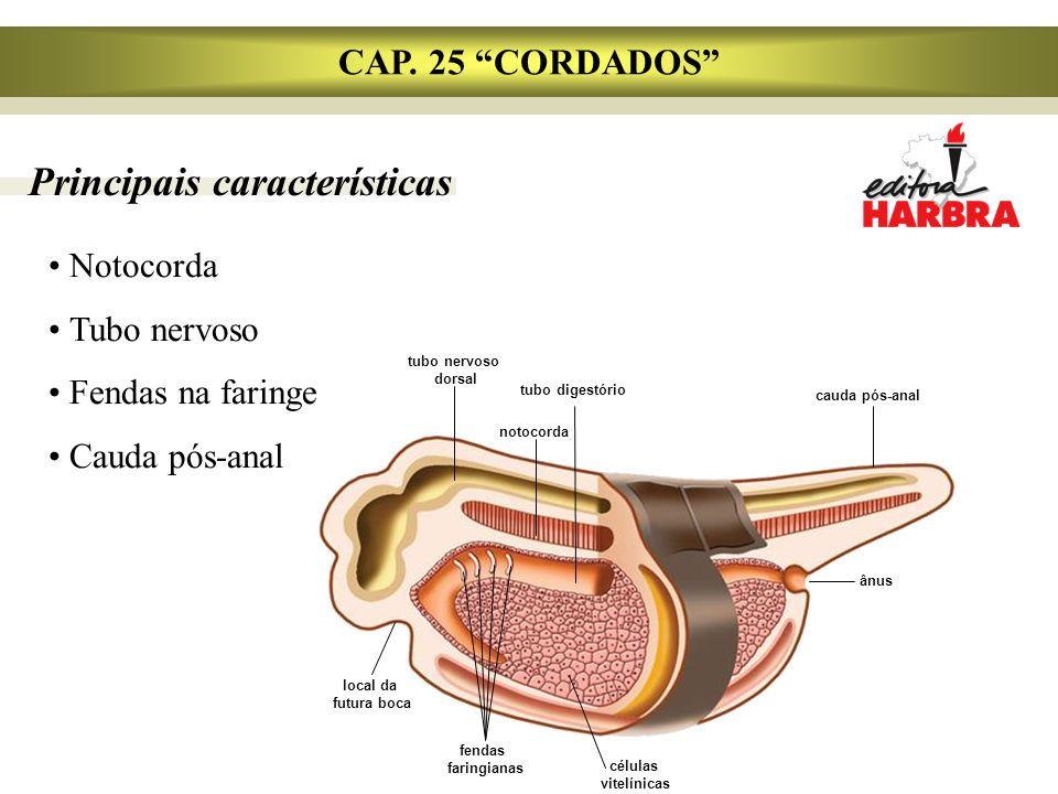 "CAP. 25 ""CORDADOS"" Notocorda Tubo nervoso Fendas na faringe Cauda pós-anal Principais características tubo nervoso dorsal notocorda cauda pós-anal tub"