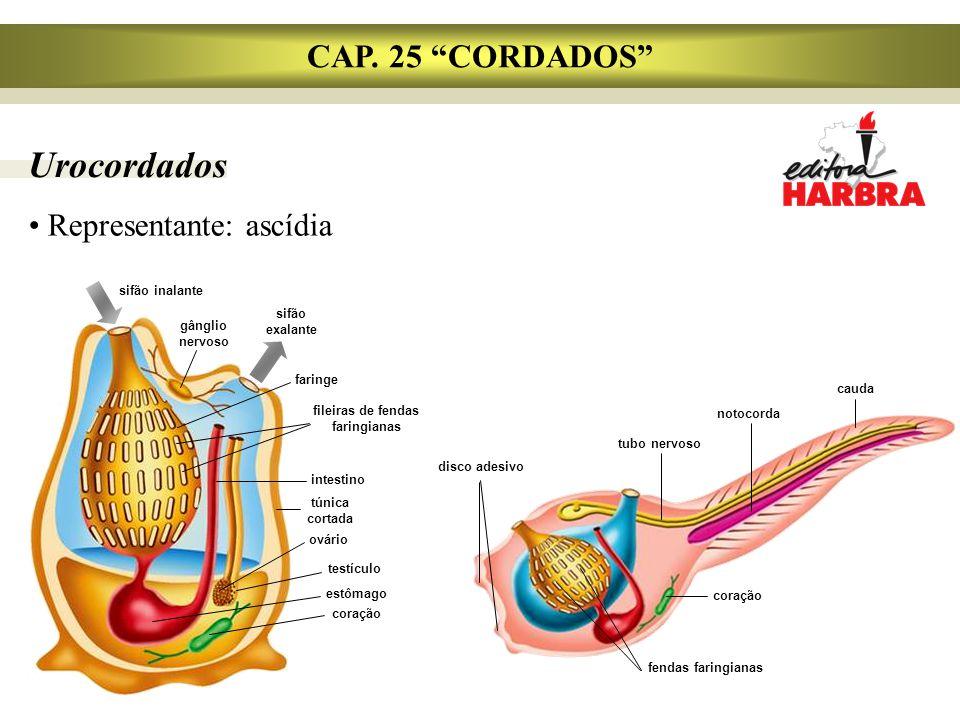 """Urocordados CAP. 25 """"CORDADOS"""" Representante: ascídia fileiras de fendas faringianas sifão inalante gânglio nervoso sifão exalante faringe intestino t"""