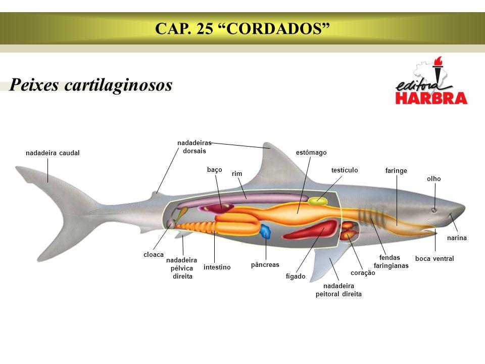 """Peixes cartilaginosos CAP. 25 """"CORDADOS"""" nadadeira caudal cloaca nadadeiras dorsais baço rim estômago testículo faringe olho narina boca ventral fenda"""