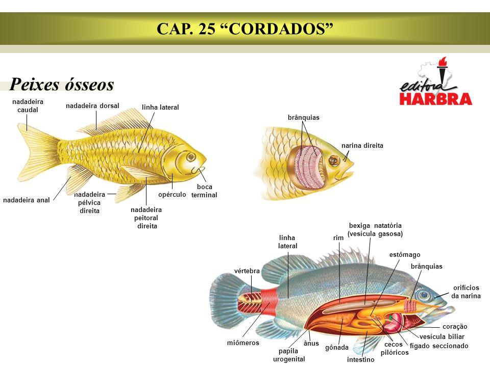 """Peixes ósseos CAP. 25 """"CORDADOS"""" nadadeira caudal nadadeira dorsal linha lateral nadadeira anal nadadeira pélvica direita opérculo boca terminal brânq"""
